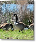 The Geese Are Back Metal Print