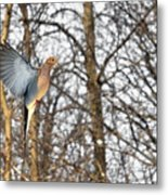 The Graceful Mourning Dove In-flight Metal Print