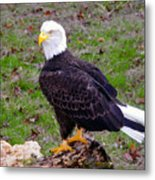 The Great Bald Eagle Metal Print