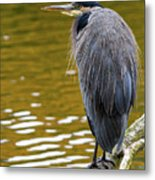 The Great Blue Heron Perched On A Tree Branch Metal Print