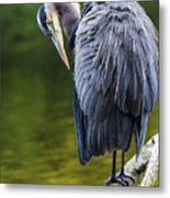 The Great Blue Heron Perched On A Tree Branch Preening Metal Print