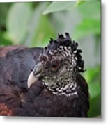 The Great Curassow 3 Metal Print