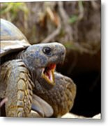 The Great Gopher Tortoise Metal Print