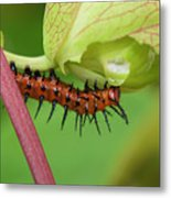 The Gulf Fritillary Caterpillar  Metal Print