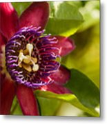 The Heart Of A Passion Fruit Flower Metal Print by Andres Leon