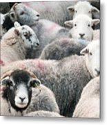 The Herdwicks Metal Print
