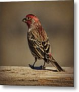 The House Finch Metal Print