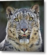 The Intense Stare Of A Snow Leopard Metal Print