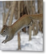 The Jumping American Red Squirrel Metal Print
