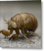 The Larval Stage Of A Locust Metal Print