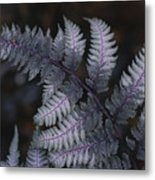 The Leaf Of A Japanese Painted Fern Metal Print