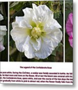 The Legend Of The Confederate Rose Metal Print