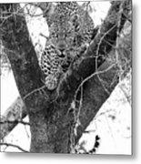 The Leopard's Stare Metal Print