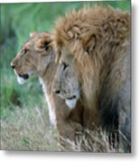 The Lion And His Lioness Metal Print