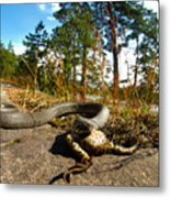 The Lunch Of Grass Snake Metal Print