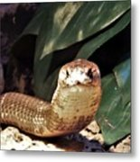 The Monocled Cobra Metal Print