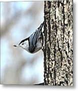 The Nuthatch Metal Print