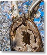 The Old Cherry Tree Metal Print