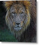 The Old Lion Metal Print