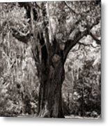 The Old Oak Is Still Standing Metal Print