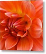 The Opening Of A Dahlia Metal Print