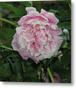 The Peony In Mears Park On A Rainy Day Metal Print