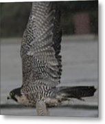 The Peregrine Falcon Metal Print