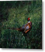 The Pheasant In The Autumn Colors Metal Print