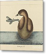 The Pied-billed Dobchick (colymbus Podiceps) Metal Print