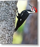 The Pileated Metal Print