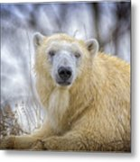 The Polar Bear Stare Metal Print