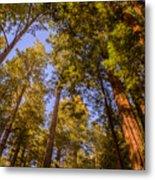 The Portola Redwood Forest Metal Print