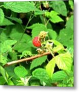 The Rasberry Patch Metal Print