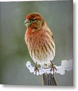 The Red Finch Metal Print