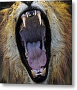 The Royal Yawn Metal Print