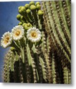 The Saguaro Cactus  Metal Print