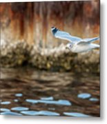 The Soaring Gull Metal Print