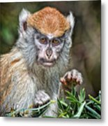 The Stare A Baby Patas Monkey  Metal Print