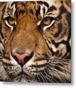 The Sumatran Tiger Cat Metal Print