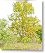 The Sycamore Metal Print