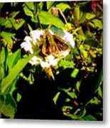The Tiniest Skipper Butterfly In The Garden Metal Print