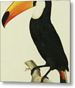 The Toco Toco Toucan  Ramphastos Toco Metal Print