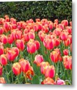 The Tulips Are Coming Metal Print