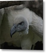 The Vulture Dry Brushed Metal Print