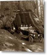 The Wawona Tree Mariposa Grove, Yosemite  Circa 1916 Metal Print