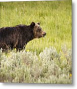The Wet Grizzly Metal Print