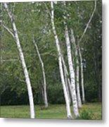 The White Birch Metal Print