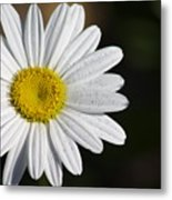 The White Daisy Metal Print by Danielle Allard