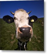 The Wideangled Cow  Metal Print