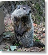 The Woodchuck Has To Pee Metal Print